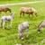 donkeys and horses piedmont italy stock photo © phbcz