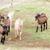 herd of goats aveyron midi pyrenees france stock photo © phbcz
