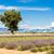 lavender field with a tree plateau de valensole provence fran stock photo © phbcz