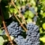 blue grape in bordeaux region aquitaine france stock photo © phbcz