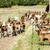 nyáj · kecskék · Franciaország · farm · mezőgazdaság · legelő - stock fotó © phbcz