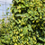 hops in hops garden czech republic stock photo © phbcz