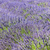 campo · de · lavanda · planalto · França · árvore · paisagem · planta - foto stock © phbcz