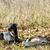 vadászkutya · zsákmány · fut · díszállat · vadászat · kint - stock fotó © phbcz
