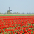 windmill with tulip field near ooster egalementsloot canal neth stock photo © phbcz