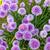 chive flowers stock photo © phbcz