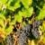 vid · vina · Francia · hoja · otono · uvas - foto stock © phbcz