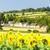 ワイン · ヒマワリ · フィールド · オーストリア · アーキテクチャ - ストックフォト © phbcz