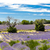 lavender field with trees provence france stock photo © phbcz