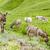 donkeys on meadow piedmont italy stock photo © phbcz