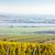 República · Checa · paisagem · plantas · agricultura · crescer · vines - foto stock © phbcz