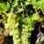 szőlőtőke · szőlőskert · Franciaország · levél · ősz · szőlő - stock fotó © phbcz
