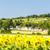 wine cellars with sunflower field immendorf lower austria aus stock photo © phbcz