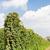 hop · giardino · crescita · natura · campo · impianto - foto d'archivio © phbcz