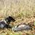 cão · de · caça · neve · animal · de · estimação · caça · ao · ar · livre - foto stock © phbcz