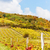 autumnal vineyards in retz region lower austria austria stock photo © phbcz