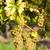 white grapes in vineyard southern moravia czech republic stock photo © phbcz
