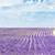 lavender field plateau de valensole provence france stock photo © phbcz