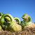 green pumpkins stock photo © photochecker