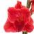 красный · Iris · макроса · изолированный · белый · фон - Сток-фото © photocrea
