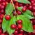 maduro · cerejas · cesta · verde · vermelho · cereja - foto stock © Photocrea