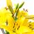 citromsárga · liliom · virág · izolált · fehér · szépség - stock fotó © Photocrea