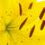 sarı · zambak · çiçek · yalıtılmış · beyaz · bahçe - stok fotoğraf © photocrea