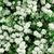 pequeno · flores · brancas · arbusto · arte · estrela - foto stock © Photocrea