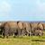 群れ · サバンナ · サファリ · ケニア · アフリカ - ストックフォト © photocreo