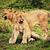 klein · leeuw · spelen · Tanzania · afrika · savanne - stockfoto © photocreo