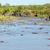 hippo hippopotamus in river serengeti tanzania africa stock photo © photocreo