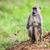baboon monkey in african bush safari in tsavo west kenya stock photo © photocreo