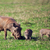 the warthog family on savannah in the ngorongoro crater tanzania africa stock photo © photocreo