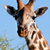 キリン · 見える · カメラ · 青空 · 自然 · 青 - ストックフォト © photocreo