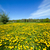 spring meadow full of dandelions flowers and green grass stock photo © photocreo
