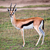 Thomson's gazelle on savanna in Africa stock photo © photocreo