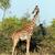 retrato · girafa · isolado · branco · textura · fundo - foto stock © photocreo