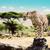 гепард · портрет · пустыне · ЮАР · лице - Сток-фото © photocreo