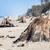 年 · 古い · ツリー · トランクス · ビーチ · 嵐 - ストックフォト © photocreo