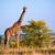giraffe on savanna safari in serengeti tanzania africa stock photo © photocreo