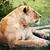 vrouwelijke · leeuw · serengeti · Tanzania · savanne · afrika - stockfoto © photocreo