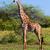 girafa · savana · safári · serengeti · Tanzânia · África - foto stock © photocreo