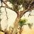 luipaard · eten · slachtoffer · boom · Tanzania · safari - stockfoto © photocreo