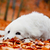 cute white puppy dog lying in leaves in autumn fall forest stock photo © photocreo