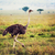 Ostrich on savanna, safari in Tanzania, Africa stock photo © photocreo