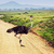struisvogel · savanne · safari · Tanzania · afrika · serengeti - stockfoto © photocreo