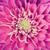 dahlia flower petals pattern close up background stock photo © photocreo