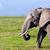elefánt · szavanna · szafari · Kenya · Afrika · afrikai - stock fotó © photocreo