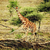Giraffe on African savanna stock photo © photocreo