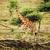 zürafa · Afrika · savan · safari · Tanzanya · göz - stok fotoğraf © photocreo